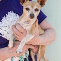 Adopt A Pet :: Velvet - Fort Lupton, CO