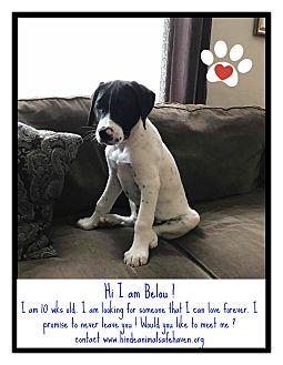 Weimaraner/Labrador Retriever Mix Puppy for adoption in Lima, Pennsylvania - Belou
