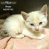 Domestic Mediumhair Kitten for adoption in Conroe, Texas - HUGO
