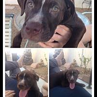 Labrador Retriever/Pit Bull Terrier Mix Dog for adoption in Las Vegas, Nevada - Luke