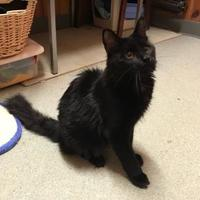Domestic Longhair/Domestic Shorthair Mix Cat for adoption in BATH, New York - Nero