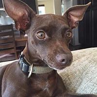 Adopt A Pet :: Chuckle - Las Vegas, NV
