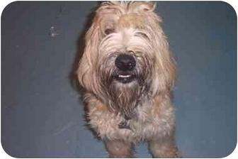 Wheaten Terrier Dog for adoption in Center Moriches, New York - Muffin/wheaten