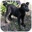 Photo 1 - Labrador Retriever/Shepherd (Unknown Type) Mix Puppy for adoption in Corona del Mar, California - Sophie