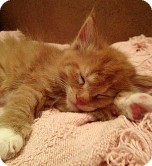 Domestic Shorthair Kitten for adoption in Troy, Michigan - Cabrera