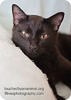 Domestic Shorthair Cat for adoption in Chicago, Illinois - Twister