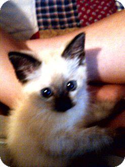 Siamese Kitten for adoption in Saint Albans, West Virginia - Sara