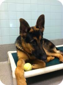 German Shepherd Dog Mix Dog for adoption in Columbus, Georgia - Zeus 0D3A