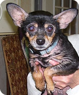 Chihuahua Mix Dog for adoption in Somerset, Pennsylvania - Chico