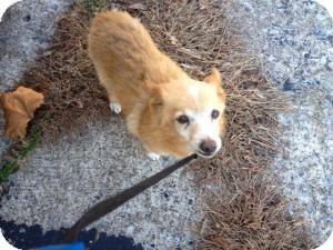 Pomeranian/Shiba Inu Mix Dog for adoption in Orland Park, Illinois - Rusty