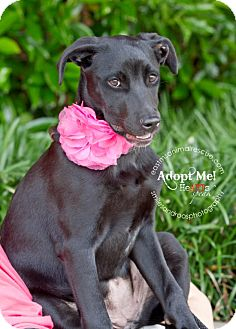 Labrador Retriever Mix Puppy for adoption in South Dennis, Massachusetts - Jenny