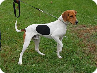 Treeing Walker Coonhound Dog for adoption in North Judson, Indiana - Buddy