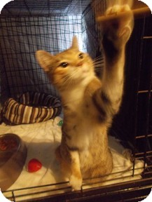 Domestic Shorthair Cat for adoption in Hampton, Virginia - Kansas