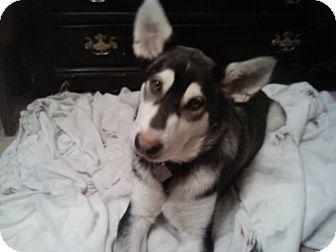 Siberian Husky Mix Dog for adoption in Minneapolis, Minnesota - Max