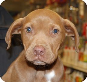 Labrador Retriever Mix Puppy for adoption in Brooklyn, New York - Jasmine