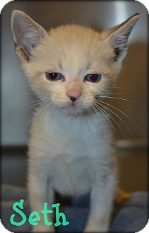 Domestic Shorthair Kitten for adoption in Beaumont, Texas - Seth