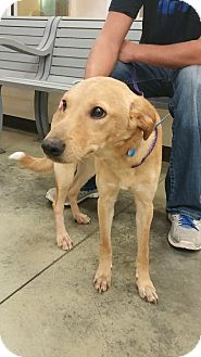 Labrador Retriever/Jack Russell Terrier Mix Puppy for adoption in Hagerstown, Maryland - Ziggy