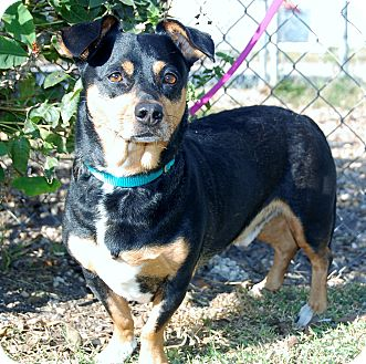 Corgi/Dachshund Mix Dog for adoption in Bradenton, Florida - Dutch