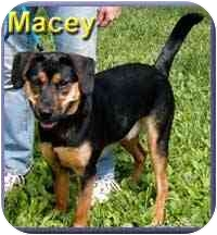 Labrador Retriever/Beagle Mix Dog for adoption in Aldie, Virginia - Macey