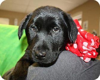 Labrador Retriever/Newfoundland Mix Dog for adoption in Cottageville, West Virginia - Summer