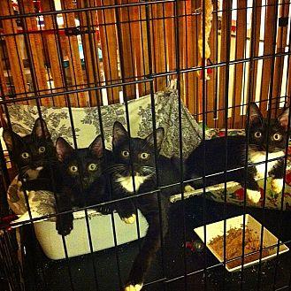 Domestic Shorthair Kitten for adoption in Long Beach, California - Quinn, Senna, Ariel, Pacey