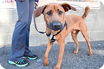 Labrador Retriever/Hound (Unknown Type) Mix Dog for adoption in Jersey City, New Jersey - DANIEL CRAIG
