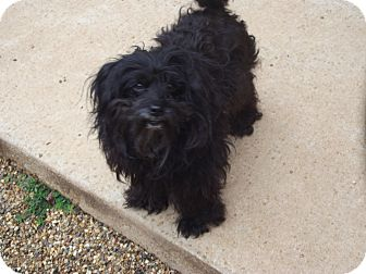 Shih Tzu Mix Dog for adoption in Marshall, Texas - Candy