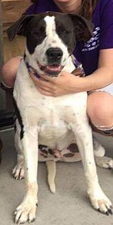 Pointer Mix Dog for adoption in Kaufman, Texas - Oreo