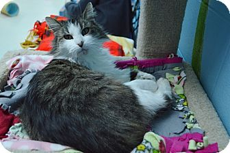 Domestic Mediumhair Cat for adoption in Evansville, Indiana - Linda