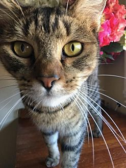 Domestic Shorthair Cat for adoption in Walnut Creek, California - Miss Mia
