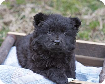 Chow Chow Mix Puppy for adoption in Middletown, Delaware - Anu