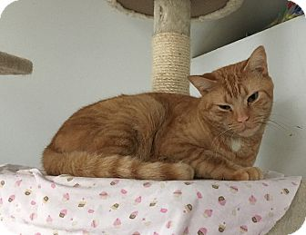 Domestic Shorthair Cat for adoption in Middletown, New York - Tigger Too