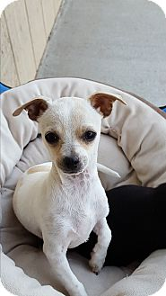 Chihuahua Mix Puppy for adoption in Tehachapi, California - Shirely