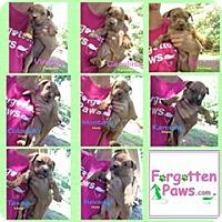 Adopt A Pet :: 8 Pit bull pups in need of fos - Acworth, GA