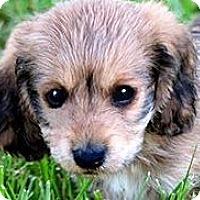 Adopt A Pet :: DUSTIN(PETIT BASSET GRIFFON) - Wakefield, RI