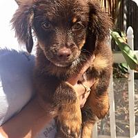 Adopt A Pet :: Sandy - Santa Ana, CA