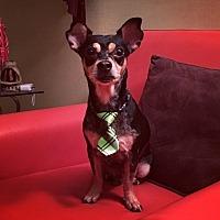 Adopt A Pet :: Merle - Davie, FL