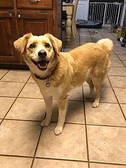 Golden Retriever/Border Collie Mix Dog for adoption in Hagerstown, Maryland - Goldie