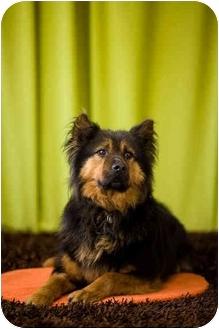 German Shepherd Dog/Chow Chow Mix Dog for adoption in Portland, Oregon - Shadow