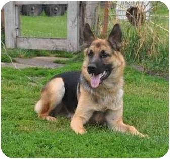German Shepherd Dog Puppy for adoption in Hamilton, Montana - Drake