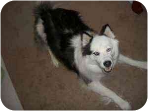 Siberian Husky Dog for adoption in Knoxville, Tennessee - Gemini