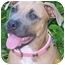 Photo 2 - American Pit Bull Terrier Dog for adoption in Cary, Illinois - Maddy