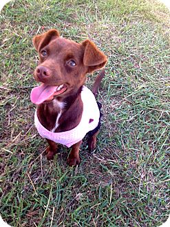 Chihuahua Mix Dog for adoption in Corpus Christi, Texas - Coco