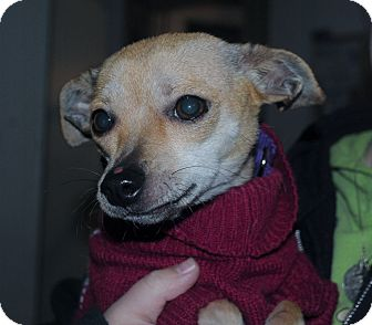 Chihuahua Mix Dog for adoption in Medford, New Jersey - Brandi