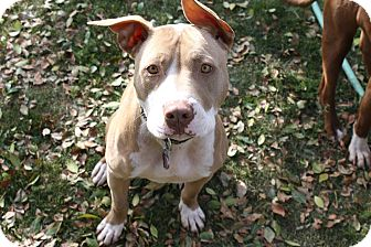 American Pit Bull Terrier Mix Dog for adoption in Temecula, California - Jeffrey- 44 lbs!