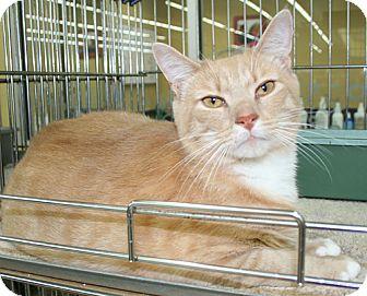 Domestic Shorthair Cat for adoption in Asheville, North Carolina - Scrapple