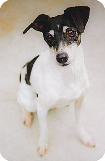 Fox Terrier (Smooth) Dog for adoption in Sacramento, California - Beau super URGENT