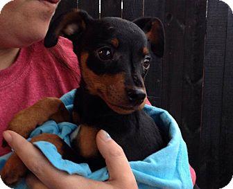 Miniature Pinscher Puppy for adoption in Memphis, Tennessee - Tonka