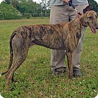 Adopt A Pet :: Nito - Tampa, FL