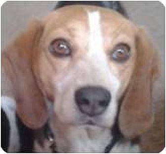 Beagle Dog for adoption in Beachwood, Ohio - Special Monty